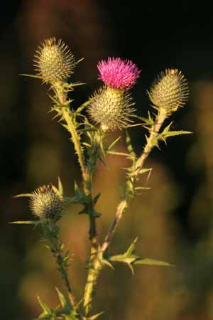 scottish thistle plant